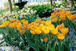 Spring Tulips Image